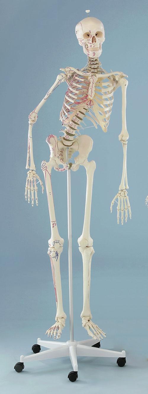 s-skelette