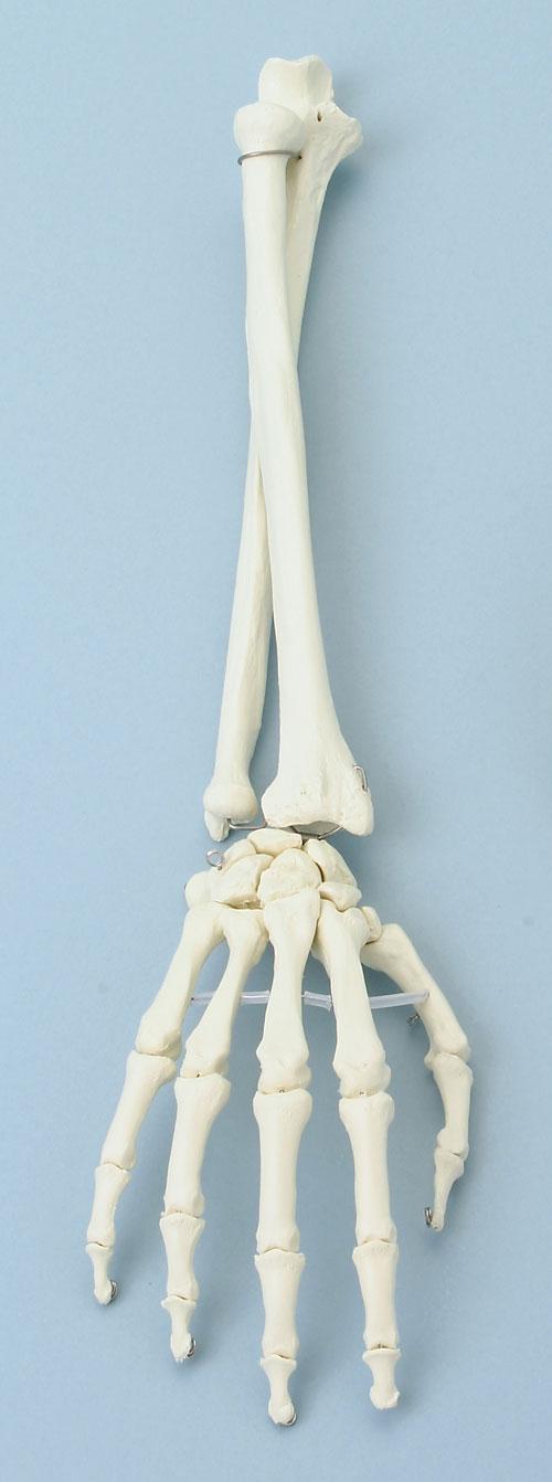 Skelettmodelle obere Extremität,Armskeltett,Handskelett,Fingerskelett