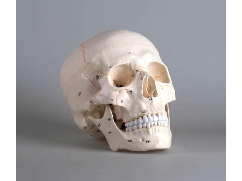 MediRescue - Anatomiemodelle Homoschädel, Skull